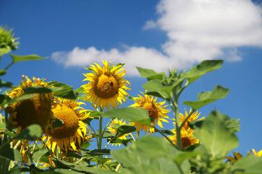 Bild mit Blumen, Sonnenblumen, Blume, Sonnenblume, Blüten, blüte, sommerblumen, gelbe blüten