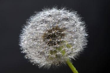 Bild mit Blumen, Blume, Makro, Wassertropfen, Regentropfen, Pusteblume, Wasserperlen, Tropfen, Pusteblumen