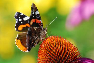 Bild mit Gelb, Tiere, Natur, Grün, Blumen, Rot, Sommer, Schmetterlinge, Tier, Blume, Makro, Blüten, Schmetterling, blüte, sonnenhut, nahaufnahme, Falter, Insekt, Admiral, distelfalter