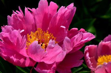 Bild mit Natur, Pflanzen, Blumen, Rosa, Blume, Makro, Blumen und Pflanzen, Floral, Flora, pfingstrosen, Blüten, garten, blüte, nahaufnahme, pink, Blumenbild, blühen, pfingstrose, Gartenblume, gartenpflanze, päonie, päonien
