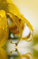 Bild mit Gelb, Natur, Wasser, Pflanzen, Blumen, Sommer, Sonne, Blume, Pflanze, Abstrakt, Wassertropfen, Spiegelung, Tropfen, Tropfen, garten, blüte, Tau, Deko, dekorativ, beauty, Tautropfen, Wasserspiegelung