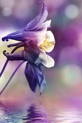 Bild mit Blumen, Lila, Makroaufnahme, Blume, Makro, Spiegelung, Blumen und Pflanzen, Flora, Blüten, blüte, dekorativ, Akelei