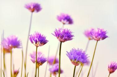 Bild mit Natur, Blumen, Lila, Frühling, Sommer, Makroaufnahme, Blume, Pflanze, Makro, Blumen und Pflanzen, garten, blüte, nahaufnahme, Schnittlauch, dekorativ, allium, lauch, schnittlauchblüte