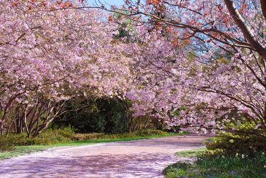 Bild mit Natur, Pflanzen, Landschaften, Bäume, Blumen, Frühling, Weg, Park, Mandelbaum, Mandelblüte, Flora, Blüten, Blütenzweige, Parkanlage, Zweige, Jahreszeit, blühen