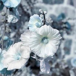 Bild mit Pflanzen, Blumen, Blau, Blume, Pflanze, Blumen und Pflanzen, Flora, malven, blüte, grau, malve