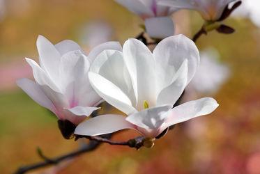 Bild mit Jahreszeiten, Blumen, Weiß, Frühling, Blume, Blumen und Pflanzen, Magnolien, blüte, Magnolie, Magnolienblüte, Jahreszeit