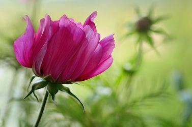 Bild mit Grün, Blumen, Lila, Sommer, Makroaufnahme, Blume, Pflanze, Makro, Blumen und Pflanzen, Flora, cosmea, Blüten, garten, blüte, nahaufnahme, schmuckkörbchen
