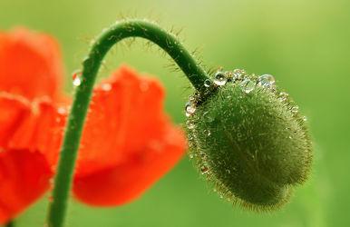Bild mit Natur, Grün, Pflanzen, Blumen, Frühling, Rot, Mohn, Makroaufnahme, Blume, Pflanze, Mohnblume, Klatschmohn, Makro, Wassertropfen, Tropfen, Tropfen, Flora, Mohnblumen, blüte, nahaufnahme, detail, Tau, Tautropfen, Knospe, Botanik, mohnknospe