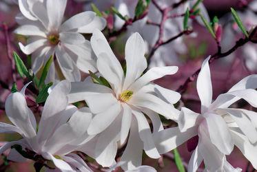 Bild mit Natur, Blumen, Lila, Frühling, Baum, Blume, Pflanze, Makro, weiss, Blumen und Pflanzen, Flora, Magnolien, blüte, Magnolie, Magnolienblüte, Zweig, baumblüte, frühlingsblüte, sternmagnolie
