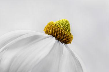 Bild mit Gelb, Natur, Blumen, Weiß, Blume, Pflanze, Makro, Blumen und Pflanzen, Flora, Blüten, blüte, sonnenhut, detail, dekorativ, Dekoration, korbblüter, sommerblumen, sommerblume