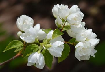 Bild mit Jahreszeiten, Blumen, Weiß, Frühling, Braun, Blume, Makro, Blumen und Pflanzen, Flora, Blüten, blüte, nahaufnahme, Zweige, Jahreszeit, Zweig, frühlingsblüten