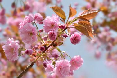 Bild mit Jahreszeiten, Blumen, Rosa, Frühling, Blume, Makro, Blumen und Pflanzen, Flora, Blüten, blüte, pink, Kirschblüte, Jahreszeit, frühlingsblüten