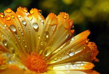 Bild mit Natur,Blumen,Blume,Pflanze,Wassertropfen,Regentropfen,Tropfen,Tropfen,ringelblume,Wellness,blüte,Tau,beauty,Tautropfen,blühen,calendula,goldblume