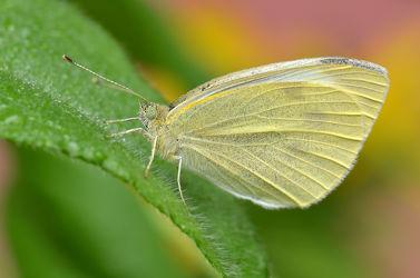 Bild mit Tiere, Natur, Grün, Insekten, Schmetterlinge, Blätter, Tier, Makro, Blatt, Schmetterling, Nektar, Tagfalter, Insekt