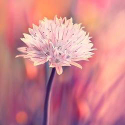 Bild mit Natur, Pflanzen, Blumen, Sommer, Blume, Pflanze, Makro, garten, Schnittlauch, lauch
