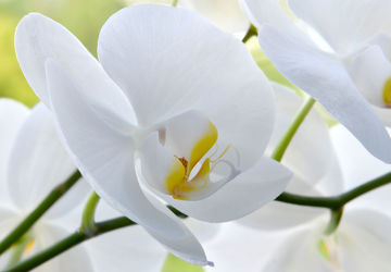 Bild mit Natur, Pflanzen, Blumen, Orchideen, Blume, Orchidee, Orchid, Pflanze, Makro, Flower, blüte, beauty, orchideenblüte