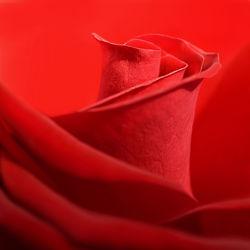 Bild mit Pflanzen, Blumen, Rot, Blume, Rose, Makro, romantik, Flora, Blüten, blüte, detail, Blütenblätter, romantisch, Liebe