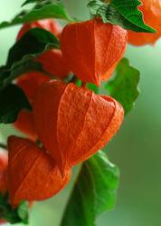 Bild mit Orange, Pflanzen, Blumen, Rot, Herbst, Blume, Pflanze, Physalis, Deko, Dekoration, schön, gartenpflanze, Zierpflanze, herbstdekoration, lampionblume