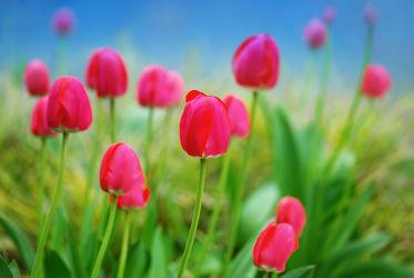 Bild mit Natur, Grün, Pflanzen, Pflanzen, Blumen, Frühling, Blume, Pflanze, Tulpe, Tulpen, Gras, Wiese, Flora, frühlingsblumen, pink, Deko, dekorativ, tulpenwiese