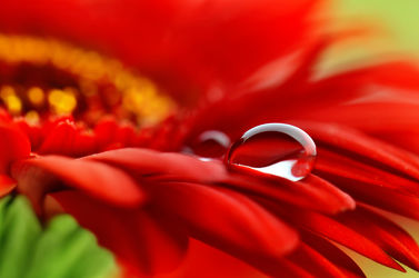 Bild mit Natur, Blumen, Rot, Sommer, Blume, Makro, Gerbera, Wassertropfen, Regentropfen, Tropfen, Flora, blüte, schnittblumen