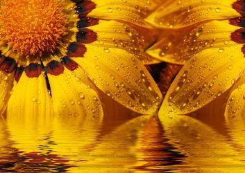 Bild mit Gelb, Natur, Pflanzen, Blumen, Sommer, Sonne, Blume, Makro, Wassertropfen, Spiegelung, Tropfen, blüte, beauty, gold, Gazanie, compositae, gazania, mittagsblume, mittagsgold