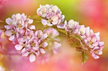 Bild mit Farben, Natur, Grün, Pflanzen, Pflanzen, Jahreszeiten, Blumen, Rosa, Frühling, Obstbaum, Blume, Pflanze, Makro, Bunt, Flora, Blüten, blüte, nahaufnahme, pink, dekorativ, Zweige, Zweig