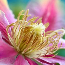 Bild mit Natur,Pflanzen,Blumen,Sommer,Makroaufnahme,Blume,Pflanze,Flora,Blüten,blüte,detail,Clematis,dekorativ,waldrebe