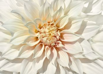 Bild mit Natur,Pflanzen,Blumen,Weiß,Sommer,Dahlien,Blume,Pflanze,Makro,Flora,blüte,detail,Deko,wandschmuck,Dahlie,Botanik,Dahlienblätter,dahlia,home decoration