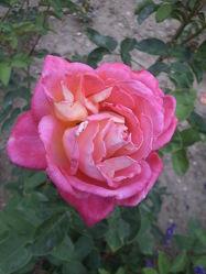 Rosenblüte 9