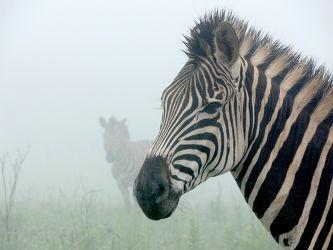 Zebra im Nebel