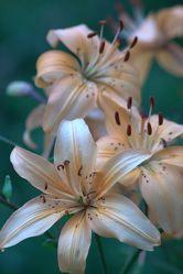 Bild mit Pflanzen, Blumen, Blume, Pflanze, Lilie, Lilien, Blüten, blüte, Blumenbild
