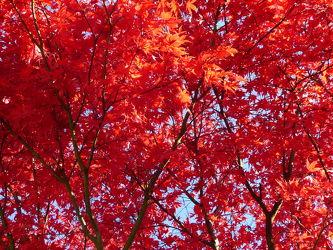 Bild mit Natur, Wälder, Rot, Herbst, Wald, Blätter, Blatt, Umwelt, Ahorn, Roter Ahorn