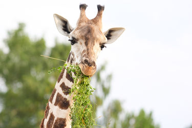 Bild mit Grün, Himmel, Bäume, Essen, Giraffen, Tier, Gras, Giraffe, Zoo, Tierisches, Grashalme