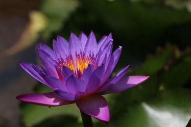 Bild mit Blumen, Blume, Makro, Seerosen, Blüten, Makroaufnahmen, blüte, Seerose, Blumenblüten, Wasserlilie, wasserlilien
