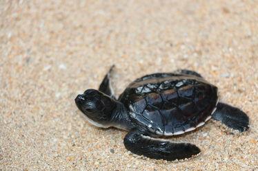 Bild mit Wasser, Gewässer, Strände, Reptilien, Strand, Meer, Schildkröte, Schildkröten, baby turtle, Babyschildkröte