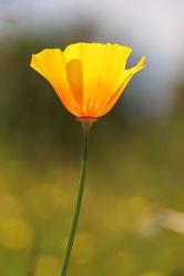 Bild mit Blumen, Mohn, Blume, Mohnblume, Mohnfeld, Mohnblumen, Makroaufnahmen
