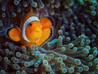 Clownfisch II