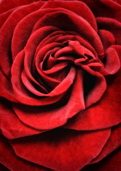 Bild mit Blumen, Rosen, Blume, Rose, rote Rose, rote Rosen, Blüten, blüte, Rosenblätter