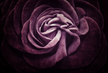 Bild mit Blumen, Rosen, Blume, Rose, Blüten, Rosenblätter, rosenblüten, schwarzer Hintergrund, lila rose