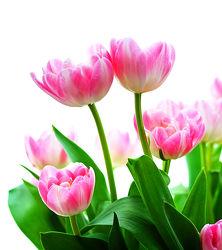 Bild mit Natur, Pflanzen, Blumen, Blume, Pflanze, Tulpe, Tulpen, Blüten, blüte