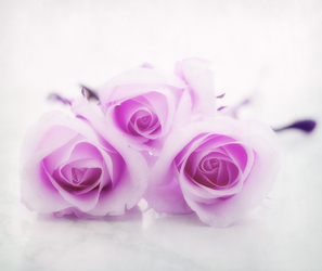 Bild mit Pflanzen, Blumen, Lila, Rosen, Blume, Pflanze, Rose, romantik, Blüten, blüte, Glück