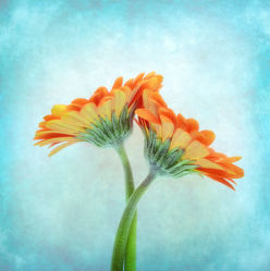 Bild mit Blumen, Gerberas, Blume, Gerbera, Blüten, gerberablüten, orangene Gerbera