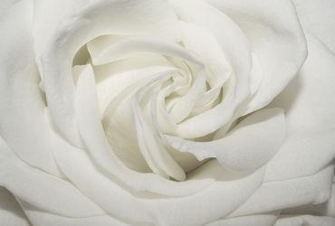 Bild mit Blumen, Rosen, Blume, Rose, weiße Rose, weiße Rosen, Blüten, Makros, Rosenblätter, rosenblüten