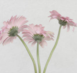 Bild mit Blumen, Rosa, Gerberas, Blume, Flowers, Gerbera, pastell