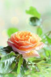 Bild mit Gelb, Blumen, Rosa, Rosen, Sommer, Blume, Rose, Rosenblüte, Blüten, garten, Sommergarten