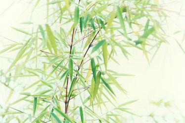 Bild mit Natur, Bambus, bambuswald, Bambusblatt, Bambusblätter