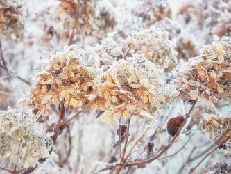 Bild mit Winter, Eis, Blumen, Blume, hortensien, Winterzeit, Kälte, Frost, gefroren, Hortensie