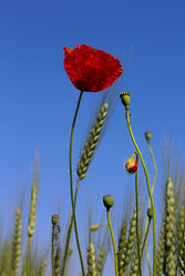 Bild mit Blumen, Mohn, Blume, Mohnblume, Mohnfeld, Feld mit Mohnblumen, Mohnblumen, Mohnblumenfeld