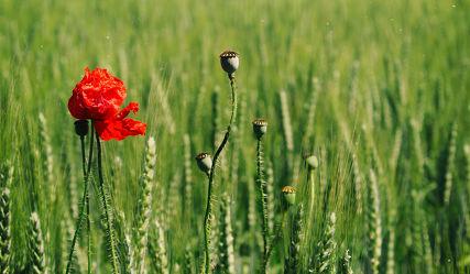 Bild mit Blumen, Mohn, Blume, Mohnblume, Poppy, Poppies, Mohnpflanze, Mohnfeld, Wiese, Feld, Felder, Mohnblumen, Wiesen, Mohnblumenfeld