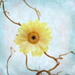 Bild mit Gelb, Blumen, Gerberas, Blume, Pflanze, Gerbera, Blüten, blüte